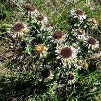 Golddistel (Carlina vulgaris)